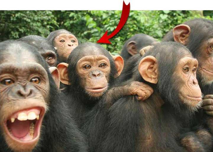 Group Chimps